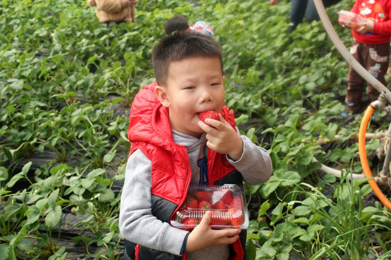 Picking-strawberry activity in Beijing Royal Kindergarten